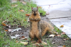 Squirrels in Ann Arbor at the University of Michigan - October 1st, 2018 (cseeman) Tags: gobluesquirrels squirrels annarbor michigan animal campus universityofmichigan umsquirrels10012018 fall autumn eating peanut acorns octoberumsquirrel foxsquirrels easternfoxsquirrels michiganfoxsquirrels universityofmichiganfoxsquirrels