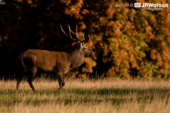Read Deer Stag On the Move