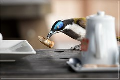 Blue faced honeyeater (georg_dieter) Tags: bird australia bluefacedhoneyeater honeyeater queensland