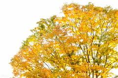 私信 (atacamaki) Tags: xt2 50140 xf f28 rlmoiswr fujifilm jpeg撮って出し atacamaki nature 紅葉 japan nagano karuizawa color tree 私信 autumn leaves leaf 軽井沢