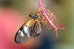 Hanging in the Balance (dianne_stankiewicz) Tags: nature willdife butterfly longwing balance hanging flower pollen hanginginthebalance ngc