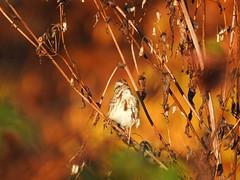 Song Sparrow (FluvannaCountyBirder754) Tags: sparrow songsparrow fall color glow light orange goldenhour bush sing song birdwatching autumn bird birding birder birds wildlife nature outdoor outdoors outside animal creature virginia fluvanna fluvannacounty