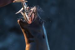 Sea lion feeding (muman71) Tags: dscf3074 fuji xt2 zoom gelsenkirchen zoo seelöwe fütterung nikkor3004 adapter mf 2018 sea lion