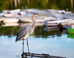 Heron on watch (Don Seymour) Tags: greatblueheron heron bucksharbor brooksville maine bird boats harbor