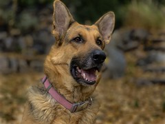 Portrait of Liesl (Cruzin Canines Photography) Tags: portrait liesl closeup cute domesticanimal dog animals girl nature dogs pets naturallight canine animal pet female gsd domestic mammal germanshepherd colorado outdoors outside