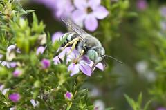 Wasps - Crabronid Wasps - Sand Wasp, female, Bembix americana, family Crabronidae (the crabronid wasps, including the mud daubers and sand wasps). (Wasp #7) (Thomas Langhans) Tags: hymenoptera insect bee crabronidae sand bembix americana bembicinae crabronid