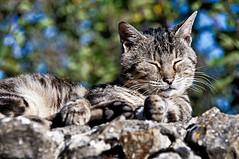 Gato en Fuentedey 1 (J.A.Glz) Tags: gato fuentedey tamron 18250 sony nex6