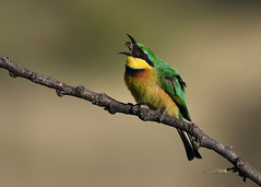 Little Bee Eater (mikestreicher) Tags: littlebeeeater beeeater