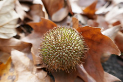 Seedhead fallen among leaves (Monceau) Tags: seedhead fallen leaves autumn round macro bokeh