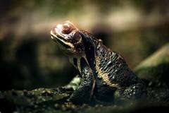 Frog (enebisu) Tags: frog カエル 蛙 両生類 水族館 葛西臨海水族園 sigma dp3m dp3merrill merrill foveon ft1201 dp4m dp4merrill