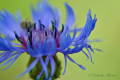 Shades of blue (avnz101) Tags: flower blue cornflower macro bright coth alittlebeauty coth5 fantasticnature ngc