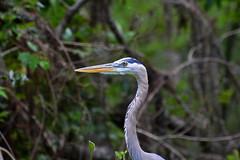 Blue Heron (npbiffar) Tags: outdoor swamp river heron blue grey bird animal npbiffar 70300mm d7100 nikon