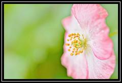 "25/100 for ""100 Flowers 2018"" (NikonShutterBug1) Tags: nikond7100 tokina100mm nature wildlife bokeh spe smartphotoeditor closeup macro flower flora 100flowers2018"