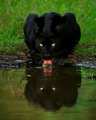 Black Panther (katalaynet) Tags: follow happy me fun photooftheday beautiful love friends