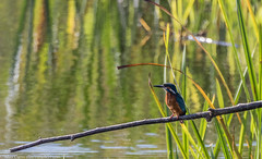 9Q6A5361 (2) (Alinbidford) Tags: alancurtis brandonmarsh kingfisher nature wildbirds wildlife