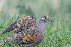Third Prize wing DSC_6730 (BlueberryAsh) Tags: bronzwingpigeon pigeon bird australianbird nikond500 nikon200500 colour wings feathers wildlife