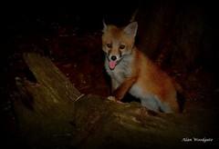 Red Fox cub - Buckinghamshire (Alan Woodgate) Tags: fox cub wild uk vulpes spring