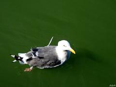 il gabbiano (Eduardo Spagnolo) Tags: birds gabbiano animali volatili cielo sky acqua mare