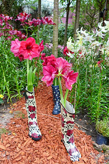 "Boots not made for walking (Gypsy's Stuff Shamblady) Tags: gardens by bay singapore ""garden city"" garden city nature park urban reclaimed land june 2016 アマリリス amarilis 孤挺花 rose ורוד розовый rosa 粉 lyserød ροζ गुलाबी merah jambu ピンク rosado pembe hồng pink flor ດອກໄມ້ flower bloem ផ្កា цветок ดอกไม้ çiçek hoa bunga fleur 꽃 blume फूल 花 blumen wood chips botas 靴子 boots stiefel bottes μπότεσ stivali sepatu bot but מגפיים chuteiras ayakkabı halloween rosas roses red skull"