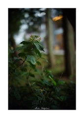 2018/9/24 - 6/15 photo by shin ikegami. - SONY ILCE‑7M2 / 七工匠  7artisans 50mm f1.1 (shin ikegami) Tags: 紫陽花 flower 花 macro マクロ 井の頭公園 吉祥寺 autumn 秋 asia sony ilce7m2 sonyilce7m2 a7ii 50mm 七工匠 7artisans 7artisans50mmf11 tokyo photo photographer 単焦点 iso800 ndfilter light shadow 自然 nature 玉ボケ bokeh depthoffield naturephotography art photography japan earth