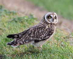 Short-eared Owl (Lutra56) Tags: shorteared owl birds nature wildlife britishbirds asioflammeus shortearedowl
