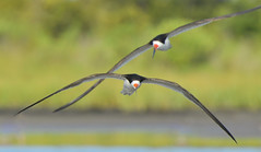 Black Skimmers  (Explored # 1) (jonathanirons28) Tags: blackskimmer august curlewflats assateaguei worcesterco maryland blsk 2018 nikon d500