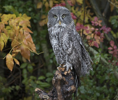 Great grey Owl young (sspike@rogers.com) Tags: owl great grey steverossi captive crc rain wet autumn