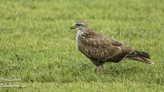 Buizerd Buzzard ButeoButeo (gijs leusink1) Tags: buizerd buzzard buteobuteo roofvogels greifvogel nikond500 nikon d500 gijsleusink genemuiden sigma150600sport nikonnaturephotography natuurfotografie natuur birds vogels