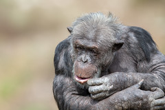 376A0547 (bon97900) Tags: 2018 adelaidehills animals chimpanseze monarto monartozoo monkeys southaustralia