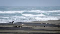 Reef heron (Stefan Marks) Tags: tasmansea animal beach bird heron nature ocean outdoor reefheron sand sky wave aucklandwaitakere northisland newzealand nzl