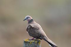 376A1567 (bon97900) Tags: 2018 spotteddove birds metro southaustralia whitesroadwetland