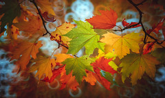 Autumn Series - 25 (Dhina A) Tags: sony sonya7rii a7r2 a7rii minolta 250mm f56 bokeh reflex mirror lens autumn fall leaves colors colourful