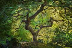 'Green Gold' - Portland Japanese Garden (Gavin Hardcastle - Fototripper) Tags: portland japanese garden green autumn maple tree famous morning light